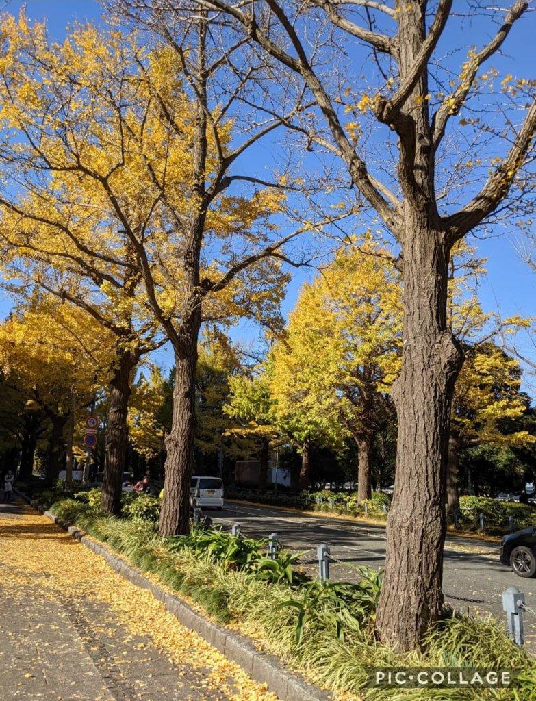 山下公園前のイチョウ並木。 成人式の前撮りをしていて、ロケーションが良かったです。